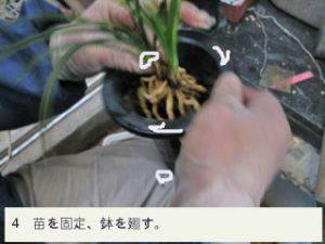 4.苗を固定、鉢を廻す