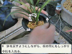 6.鉢を廻すようにしながら根の間にもしっかり中粒を入れる